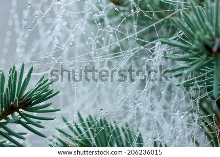pine branch with spider web or cobweb with water drops after rain  - stock photo