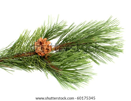 Pine branch with the cone on a white background