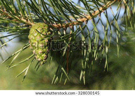 Pine branch with the green cone against foliage and the sky - stock photo