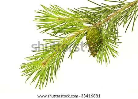 Pine branch with young cone