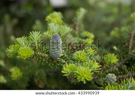 pine branch with young green cones in summer