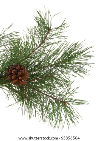 pine branches and cones