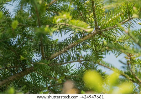 Pine branches at springtime. Selective focus with shallow depth field. - stock photo