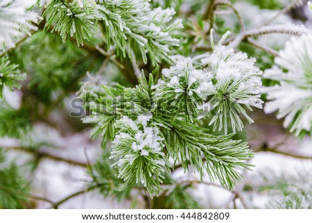 Pine branches covered in snow