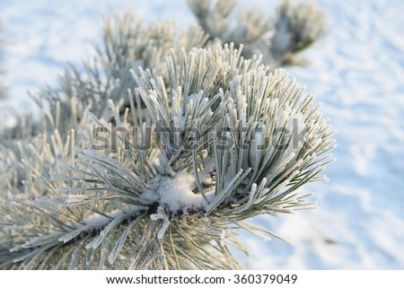 pine branches covered with hoarfrost crystals - stock photo