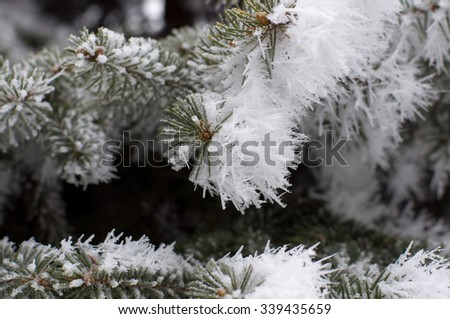Pine branches covered with hoarfrost. Small deep of field. - stock photo