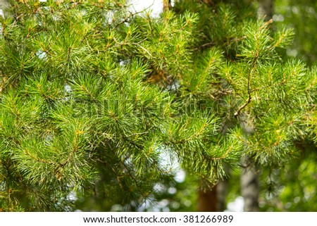 Pine branches in the forest