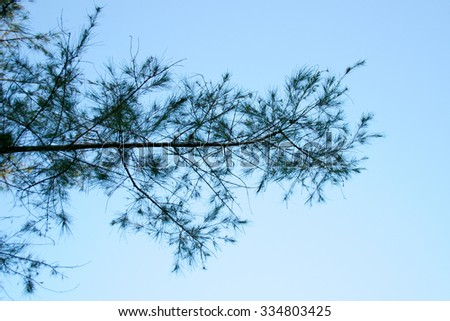 Pine branches isolate on blue sky background - stock photo