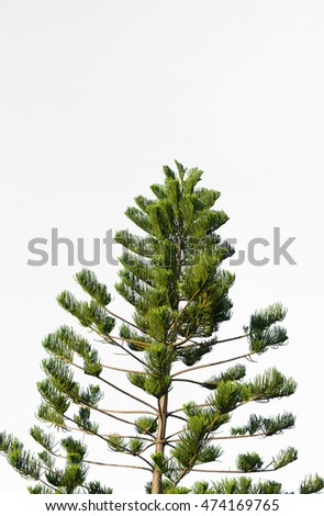 pine branches on white background