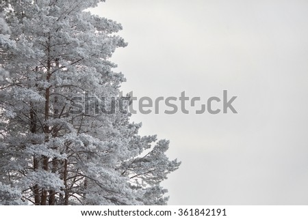 Pine branches under the snow on a white background, Pine branches and white background