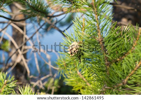 Pine branches with cone on a blue background - stock photo