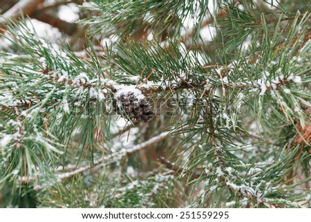Pine branches with pine cones - stock photo