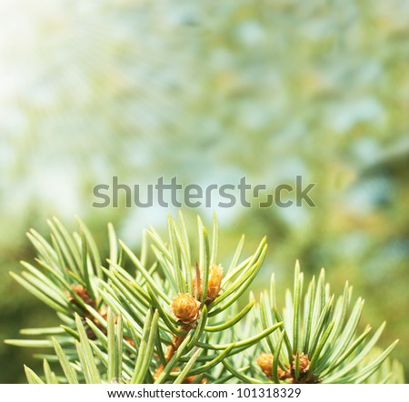 Pine buds on the abstract blurred background - stock photo