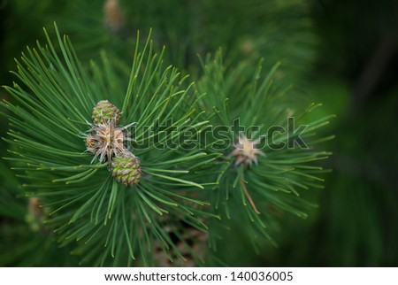 Pine cone and branches macro image - stock photo