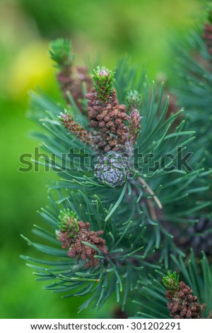 Pine cone and green branches. Nature background - stock photo