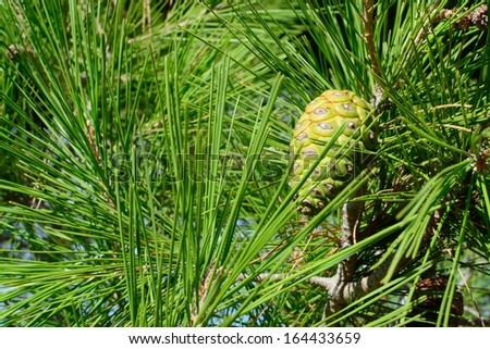 Pine cone and needles. - stock photo