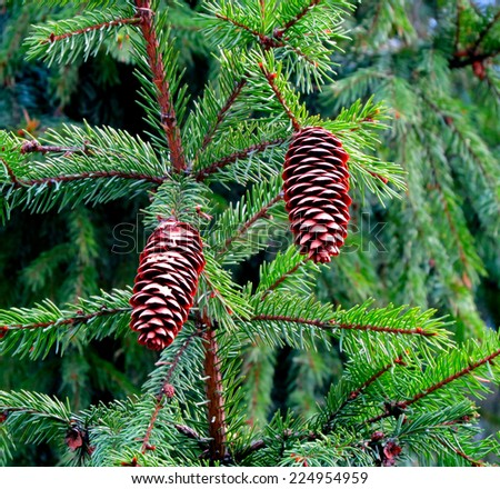 Pine cone hanging on the Branch of Coniferous Trees