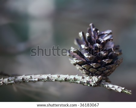 pine cone on a branch - stock photo