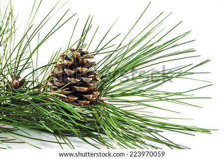 Pine cone on a branch on a light background