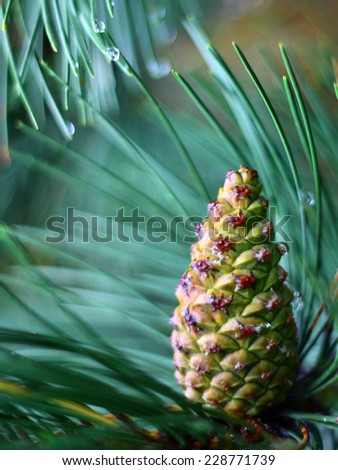 Pine cone on a pine branch - pine needles with drops of water - close up - stock photo