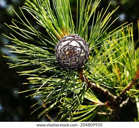 pine cones,cedar cones. - stock photo