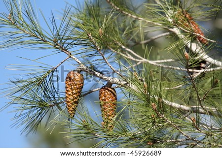 Pine cones, La Albufera nature reserve, El Palmar, Valencian community, Spain - stock photo