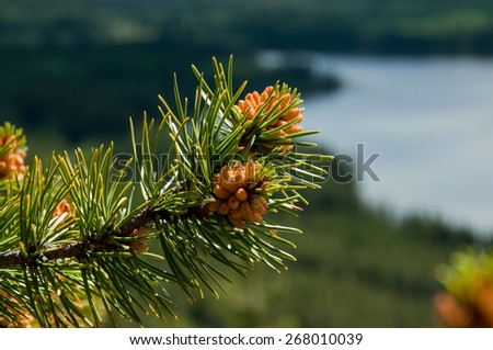 Pine cones on the branch - stock photo