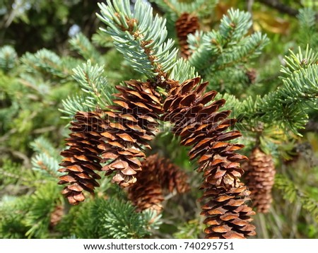pine cones on tree bough