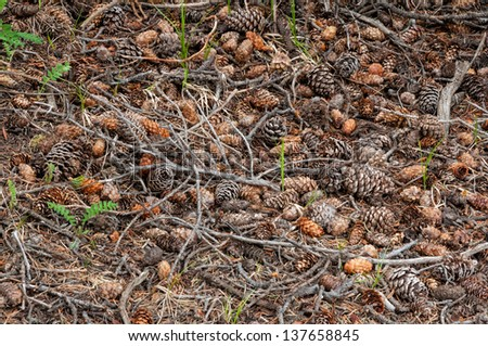 Pine cones, twigs and small ferns adorn the forest floor. - stock photo