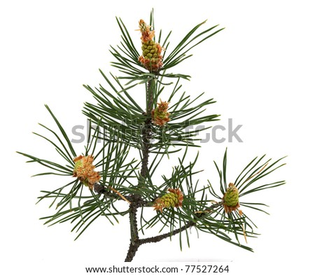 Pine cones young isolated on white - stock photo