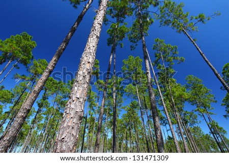 Pine flatwoods of central Florida - stock photo