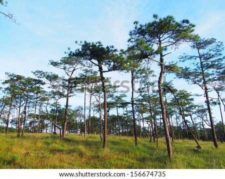 """Pine forest at """"Poo soi dao"""" national park, thailand - stock photo"""