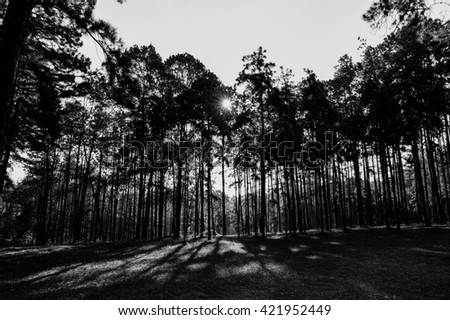 Pine forest black and white background.  - stock photo