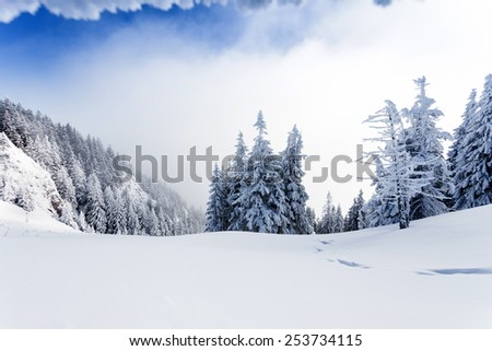 Pine forest covered in snow on winter season - Poiana Brasov