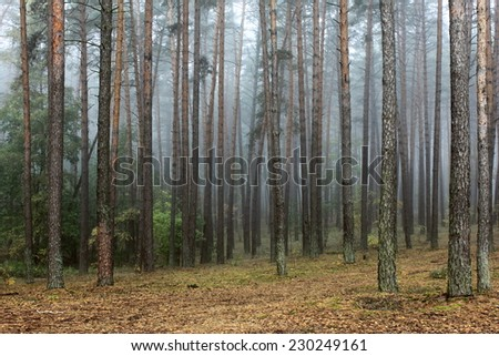 pine forest in autumn - stock photo