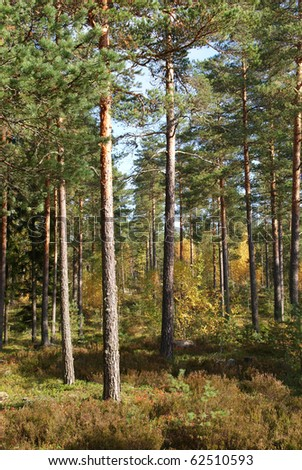 Pine Forest in Autumn Colors - stock photo