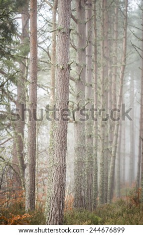 Pine Forest in Mist. - stock photo