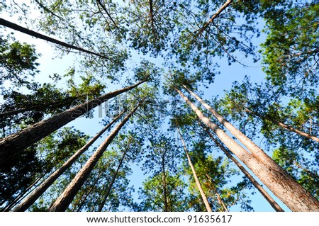 pine forest in Num Nao National Thailand - stock photo