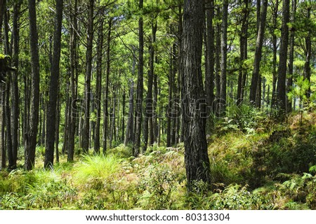 Pine forest in Sagada, Mountain Province, Philippines