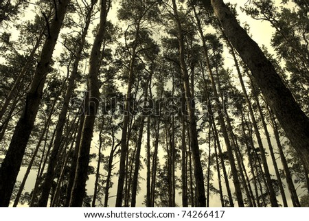 Pine forest in sepia (vintage style) - stock photo