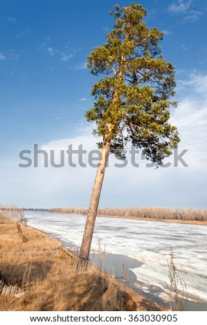 Pine forest in spring.  the season of spring. spring, springtime, springtide, prime. the season after winter and before summer, in which vegetation begins to appear,  - stock photo