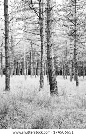 Pine forest in summer with grass tapestry - black and white - vertical - stock photo