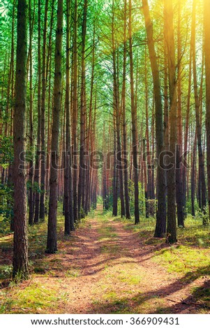 Pine forest in sunny day