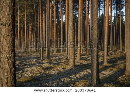 Pine forest in sunsets. Image characteristic for scots pine forests on sandy soils in northern Europe: Sweden, Finland, Baltic states etc. Forest stand structure is typical for commercial forests. - stock photo
