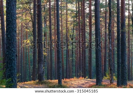 Pine Forest in the evening sun - stock photo