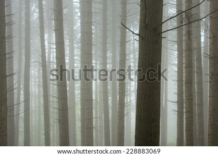 Pine forest in the mist - stock photo