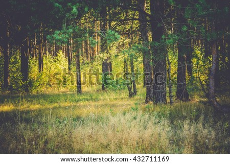 Pine forest in the morning at the end of summer, vintage colors.