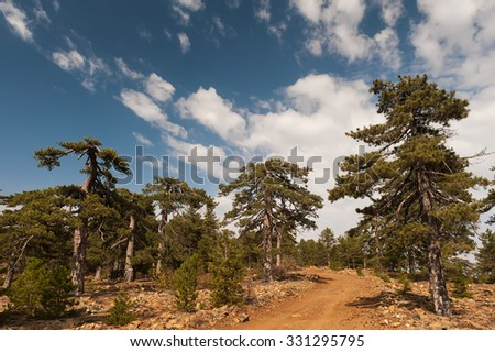 Pine forest in the Troodos Mountains. Cyprus
