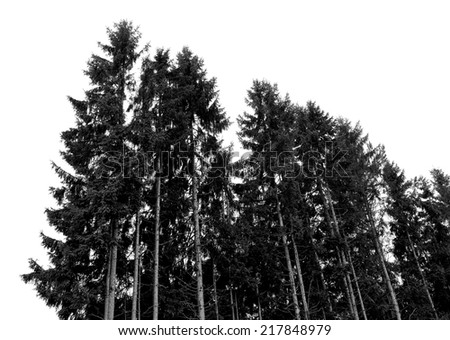 Pine forest on the background of blue sky.Photographing nature.Black and white photography - stock photo