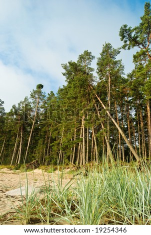 Pine forest on the shores of Baltic sea